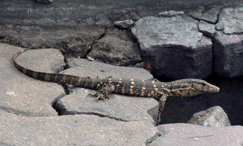 Monitor Lizard, Bangkok.