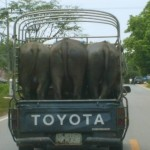 Elephants on a truck